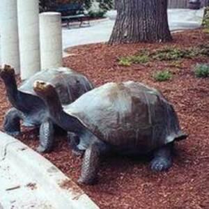 Tortoises old.jpg